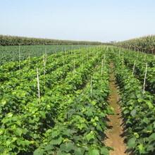 哪里出售葡萄树苗,价格多少钱一棵