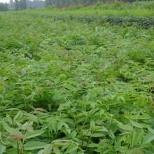 香椿树苗怎么购买哪里有卖香椿树苗的基地