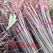 四川香椿苗红油香椿苗哪里有卖香椿苗多少钱一棵