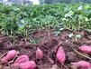 产地红薯大量上市山东红薯批发价格