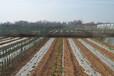 河南省洛阳市孟津县大量供应蔬菜苗种苗线椒辣椒苗专业育苗基地