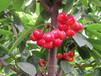樱桃怎样种植产量高?