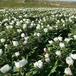 洛阳白芍苗牡丹苗,自家种植出售价格优惠