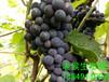 郑州周边哪有户太八号葡萄?荥阳老候生态采摘园