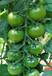 绿宝石-水果小番茄种子