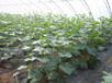佛罗里达2号-密刺黄瓜种子