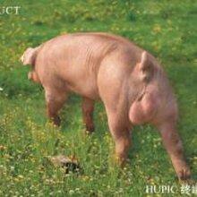 湖北pic种猪、武汉PIC鄂美公司,湖北鄂美猪种改良有限公司