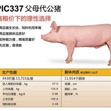 美国PIC种猪,湖北鄂美猪种改良有限公司