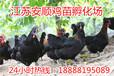 芦花鸡价格九斤黄鸡苗价格笨鸡苗多少钱一只