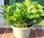 武汉各类型的大小绿萝盆栽,吸甲醛防辐射绿箩湖北省内可整箱发货