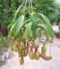 武汉吃虫的植物猪笼草盆栽送货上门,?#32972;?#28781;虫的绿植猪笼草盆栽