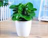 武汉室内小型植物青叶碧玉盆栽,可水培的电脑宝贝防辐射植物送货