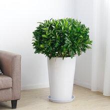 能适应武汉冬天的中型室内植物非洲茉莉盆栽,净化空气的灰莉植物