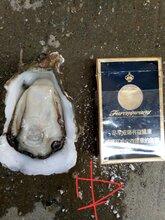 北京生蚝批发价格,净化生蚝报价。