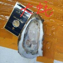 上海生蚝批发价|湛江生蚝在哪里有|生蚝价格。