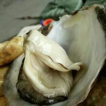 杨州生蚝市场,生蚝怎么进货?