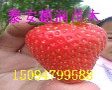 宁玉草莓苗多少钱一棵宁玉草莓苗品种特性新报价图片