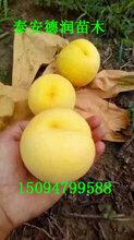 黄金蜜2号桃苗特点早熟黄金蜜2号黄桃树苗单价多少钱一棵