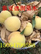 黄金蜜8-8桃苗价格黄金蜜8-8桃树苗单价黄金蜜0号特点