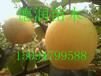 早美酥梨苗品種介紹早美酥梨樹苗多少錢一棵