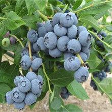珠宝蓝莓苗多少钱一棵珠宝蓝莓苗品种介绍