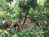 中桃紅玉桃苗品種特性中桃紅玉桃樹苗價格