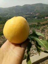 黄将军黄桃苗一棵价格黄将军黄桃苗种植方法