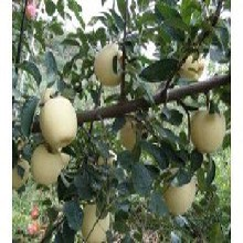 当年结果维纳斯黄金苹果苗介绍一棵多少钱