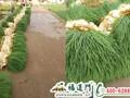 大棚蔬菜用啥肥?福进门蔬菜叶面肥图片