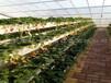 草莓立體種植槽科環品牌廠家草莓種植槽立體種植槽