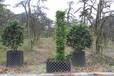 女贞字母造型绿化苗木供应