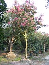 紫薇绿化苗木各种规格供应