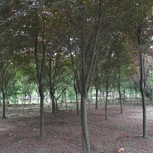 红叶李彩叶植物绿化苗木供应