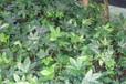 成都千蜀园林八角金盘苗木供应