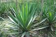 凤尾丝兰花卉剑叶植物基生植物