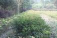 成都千蜀园林佛顶桂园林绿化苗木供应