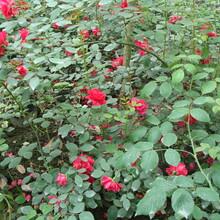 月季花,藤本月季,花灌木,蔷薇图片