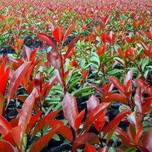 成都千蜀园林红叶石楠苗木,高杆,柱形,球状
