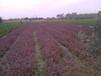 成都千蜀园林紫叶小檗彩叶灌木苗木供应