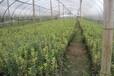 成都千蜀园林花叶黄杨园林绿化苗木