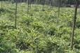 成都千蜀园林花叶良姜绿化苗木供应