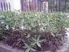 成都千蜀园林黄蝉绿化苗木供应