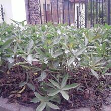 成都千蜀园林黄蝉绿化苗木供应图片