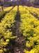 成都千蜀园林黄连翘绿化灌木苗木供应
