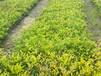 成都千蜀园林欧洲荚蒾花灌木园林绿化