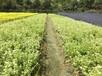 成都千蜀园林六月雪花灌木园林绿化