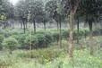成都千蜀园林毛叶丁香花灌木园林绿化