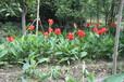 成都千蜀园林美人蕉花卉植物园林绿化