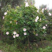 成都千蜀园林木槿花灌木,苗木、造型园林绿化供应