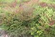 成都千蜀园林南天竹常绿灌木园林绿化